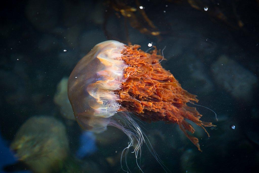 Lion's Mane Jellyfish, Kerrera
